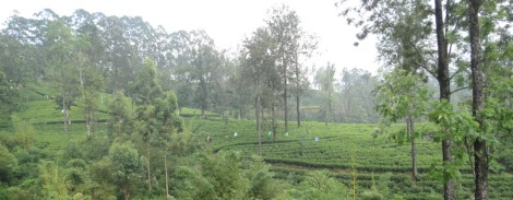Sri Lanka women covered with plastic picking tea leaves on plantation during rain
