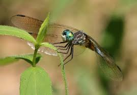 dragonfly from french wikipedia